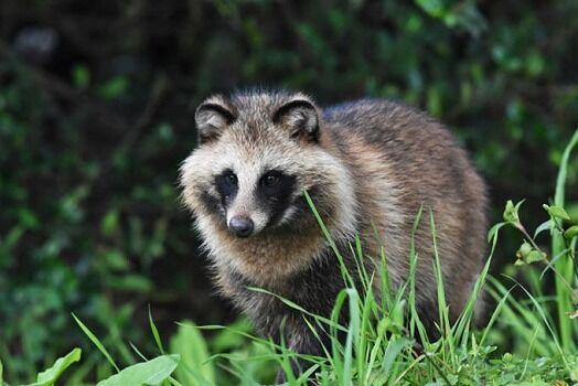 【速報】キムタク、自宅の庭にタヌキが現れてたまげる